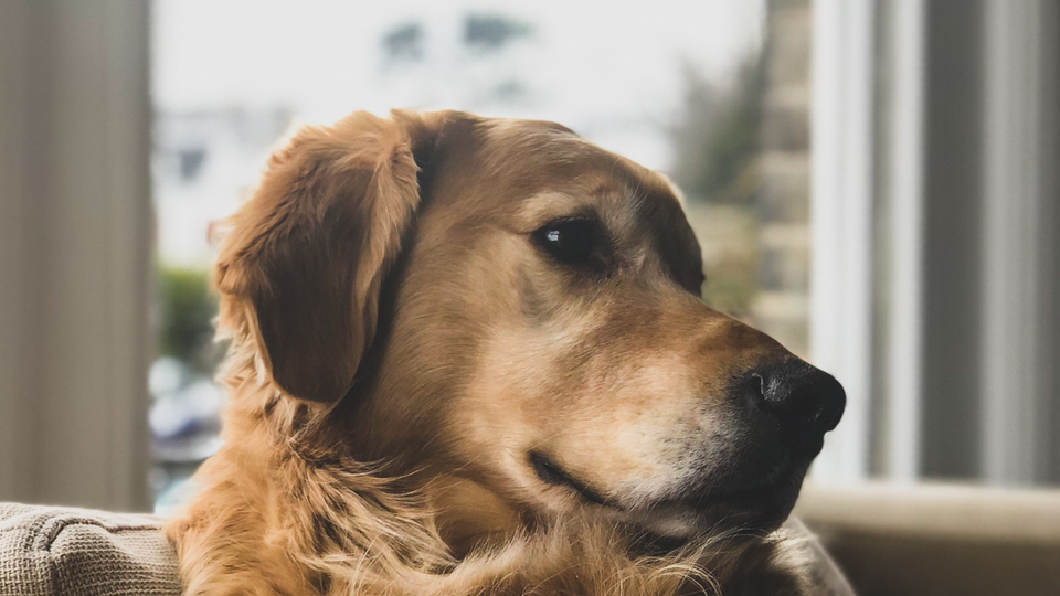 A golden retriever with a pre-existing medical condition.